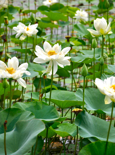 Be like the lotus flower, no matter how challenging is the environment, it spread its fragrance and non of mud water can attach on the leaves.